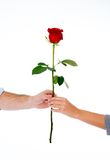Couple holding a red rose together on white background Royalty Free Stock Photos