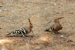 Couple of hoopoes. On the autumn land Royalty Free Stock Images