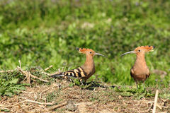 Couple of hoopoes Royalty Free Stock Images