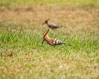 A couple of hoopoes Stock Image