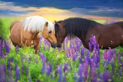 COuple horse with long mane in flowers