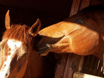 Couple of horse in loose-box Royalty Free Stock Photo