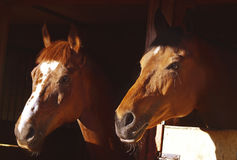 Couple of horse in loose-box at sunny evening Royalty Free Stock Photo