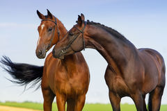 Couple horse in love Stock Photos