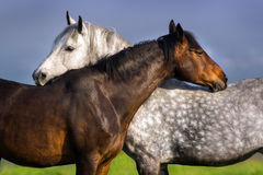 Couple of horse portrait stock image