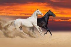 Couple of horse run on desert. Two beautiful akhal-teke horses run in desert against sunset sky Stock Image