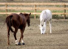 Couple of horses. Two horses, white and brown Royalty Free Stock Images