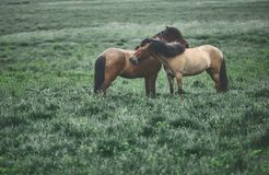 Couple horses in a field Stock Photos