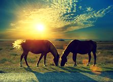 Couple of horses grazing in the meadow. At sunset. Rural evening landscape. Twilight time stock photo