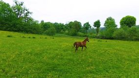 Couple of horses on the green meadow stock footage