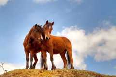 Couple of horses on the hill Royalty Free Stock Image
