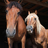 Couple of horses Stock Photography