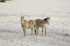 A couple of horses standing in white snow Royalty Free Stock Images