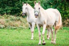 Couple of horses Royalty Free Stock Photos