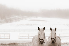 The couple of horses. Two white horses in a paddock. Foggy winter day Royalty Free Stock Images