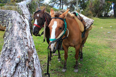 Couple of horses waiting for the riding Stock Images