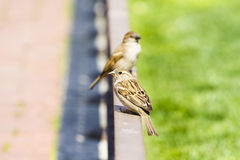 Couple of house sparrow Royalty Free Stock Image