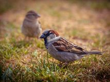Couple of house sparrow. (Passer domesticus) in field of grass during sunny summer day royalty free stock images