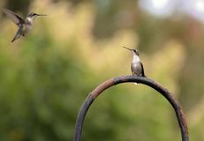 Couple hummingbird flying. Couple hummingbirds are flying with green backgroung Stock Images