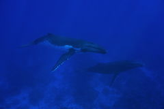 Couple of humpback whale underwater Royalty Free Stock Images