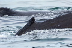 Couple humpback whales in Pacific Ocean. Water area near Kamchatka Peninsula. Royalty Free Stock Photo