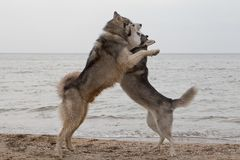 Couple of husky dogs playing on seaside royalty free stock photography