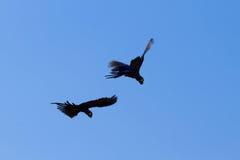 Couple of Hyacinth macaw, Brazilian wildlife Royalty Free Stock Photography