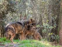 Couple of iberian wolves Canis lupus signatus in heat season Royalty Free Stock Photography