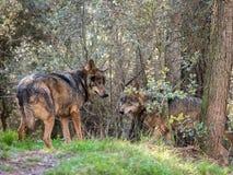 Couple of iberian wolves Canis lupus signatus in heat season Stock Image