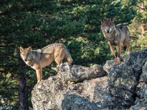 Couple of iberian wolves Canis lupus signatus over a rock Royalty Free Stock Photography