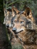 Couple of iberian wolves Royalty Free Stock Photography