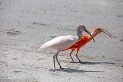 Couple of Ibis bird, one red and one white walks on the dust. royalty free stock image