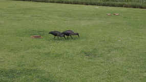 Couple of ibises , South  Africa. Couple of glossy ibises, South Africa Royalty Free Stock Photos