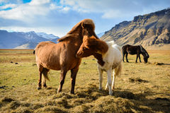 A couple of Icelandic Horse in a windy day Stock Photo