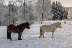 Couple of Icelandic horses in snow. Two Icelandic horses, one black and one white. Standing in a snow covered pasture in evening sunlight Stock Photos