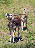 A couple of Indian Black Buck. Protect a girlfriend. A couple of Indian Black Buck Antelopes over green grass Stock Image