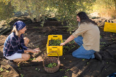 Couple interacting while collecting olives. In farm Stock Photo