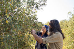 Couple interacting while harvesting olives. In farm Royalty Free Stock Photo