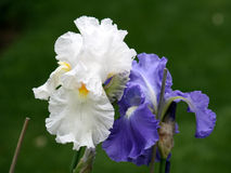 The Couple of Irises Stock Photos