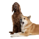 Couple of a Irish Setter (3 years) and a akita inu stock images