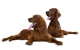 Couple of Irish Setters Royalty Free Stock Photography