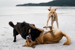 Couple of  island dogs heaving fun together at the beach. Royalty Free Stock Photos