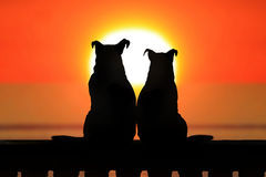 Couple of jack russell at sunset Royalty Free Stock Photos