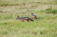 Couple of jackals Royalty Free Stock Image