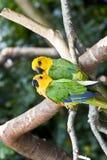 Couple of Jandaya Parakeet, parrot from Brazil stock photo