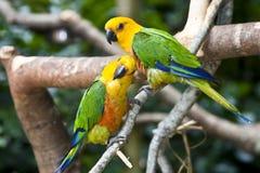Couple of Jandaya Parakeet, parrot from Brazil. Closeup of Jandaya Parakeet, parrot from Brazil royalty free stock photo