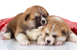 Couple of Japanese Akita-inu puppies lying over Royalty Free Stock Images