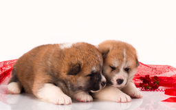 Couple of Japanese Akita-inu puppies lying over Stock Photo