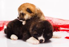 Couple of Japanese Akita-inu puppies lying over Stock Photography