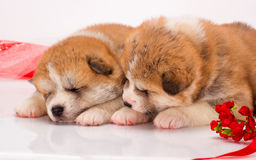Couple of Japanese Akita-inu puppies lying over Royalty Free Stock Photography
